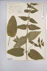Stachys alpina herbarium specimen from Nibley Knoll, VC34 West Gloucestershire in 1900 by Mr James Walter White.