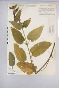 Stachys alpina herbarium specimen from Wotton-under-Edge, VC34 West Gloucestershire in 1925 by Mr Harold Stuart Thompson.