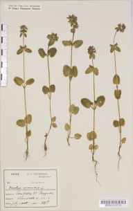 Stachys arvensis herbarium specimen from Penzance, VC1 West Cornwall in 1888 by Mr Harold Stuart Thompson.