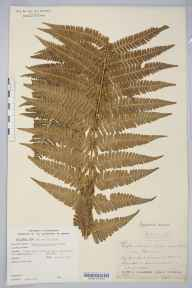 Dryopteris affinis subsp. borreri herbarium specimen from Ceunant Mawr, VC49 Caernarvonshire in 1875 by Mr John Harbord Lewis.