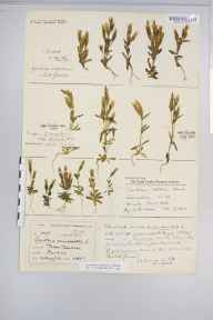 Gentianella campestris herbarium specimen from Upper Teesdale, VC65,VC66 in 1886 by Mr Harold Stuart Thompson.