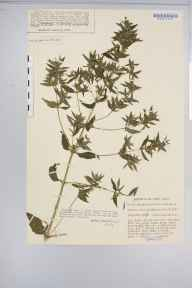 Mercurialis annua herbarium specimen from Mitcham Common, VC17 Surrey in 1931 by Mr Job Edward Lousley.