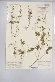 Geranium robertianum herbarium specimen from Torquay, VC3 South Devon in 1898 by Mr Spencer Henry Bickham.
