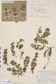 Glechoma hederacea herbarium specimen from Tickenham, VC6 North Somerset in 1918 by Ida Mary Roper.