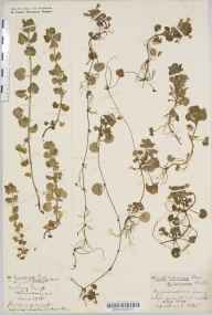 Glechoma hederacea herbarium specimen from Cadbury Camp, VC6 North Somerset in 1918 by Mr Harold Stuart Thompson.