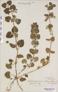 Glechoma hederacea herbarium specimen from North Petherton, VC5 South Somerset in 1886 by Mr Harold Stuart Thompson.