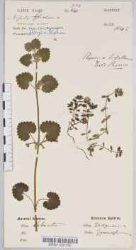 Glechoma hederacea herbarium specimen collected in 1843 by Dr Robert Large Baker.