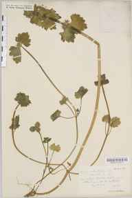 Lamium confertum herbarium specimen from Melvich, VC108 West Sutherland in 1915 by Rev. Edward Shearburn Marshall.