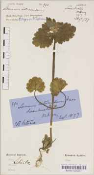 Lamium confertum herbarium specimen from Swanbister, VC111 Orkney in 1877 by Isobel Barclay Fortescue.