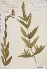 Stachys palustris herbarium specimen from Tyning's Farm, VC6 North Somerset in 1915 by Mr Harold Stuart Thompson.