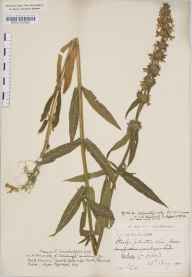 Stachys palustris herbarium specimen from Orkney, VC111 Orkney in 1900 by Mr Francis Chalmers Crawford.