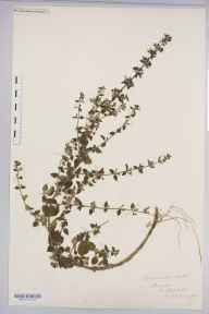 Clinopodium calamintha herbarium specimen from Staunton, VC34 West Gloucestershire in 1888 by Rev. Augustin Ley.