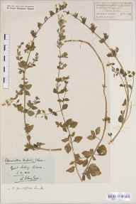 Clinopodium calamintha herbarium specimen from Saffron Walden, VC19 North Essex in 1844 by Mr George Stacey Gibson.