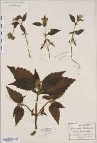 Galeopsis tetrahit herbarium specimen from Fort William, VC97 West Inverness-shire in 1912 by Rev Douglas Montague Heath.