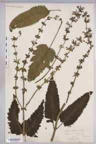 Salvia pratensis herbarium specimen from Ross-on-Wye, VC36 Herefordshire in 1891 by Miss Eleonora Armitage.