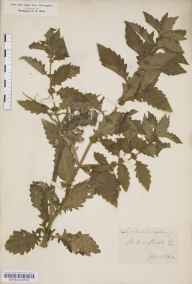 Lycopus europaeus herbarium specimen from Thirsk, VC62 North-east Yorkshire in 1852 by John Gilbert Baker.