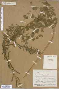 Euphorbia waldsteinii herbarium specimen from Cambridge, Barnwell, VC29 Cambridgeshire in 1930 by Mr Harold Stuart Thompson.