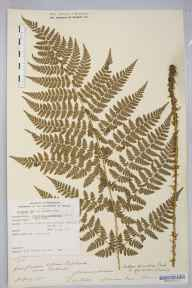 Dryopteris carthusiana herbarium specimen from Catbrook, VC35 Monmouthshire in 1893 by Rev. Augustin Ley.