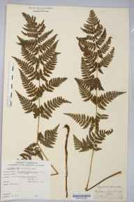Dryopteris carthusiana herbarium specimen from Doncaster, VC63 South-west Yorkshire in 1879 by William West (Bradford).
