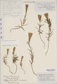 Gentiana pneumonanthe herbarium specimen from York, VC62 North-east Yorkshire in 1852 by William Thompson (father of HST).