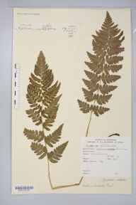 Dryopteris cristata herbarium specimen from Malton, VC62 North-east Yorkshire in 1871 by Mrs Elizabeth Anne Lomax.