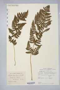 Dryopteris cristata x carthusiana = D. x uliginosa herbarium specimen from Cockerham Moss, VC60 West Lancashire by Mr Charles Edgar Salmon.