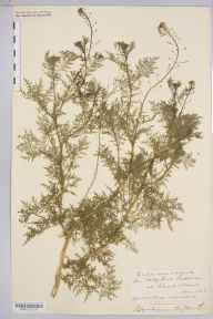 Descurainia sophia herbarium specimen from Sellack, VC36 Herefordshire in 1906 by Rev. Augustin Ley.