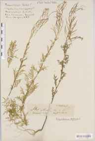 Descurainia sophia herbarium specimen from Max House, VC6 North Somerset in 1922 by Mr Harold Stuart Thompson.