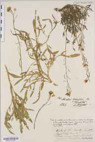 Diplotaxis tenuifolia herbarium specimen from Taunton Castle, VC5 South Somerset in 1829 by Mr Thomas Clark.