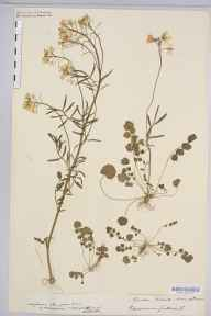 Cardamine pratensis herbarium specimen from Sellack, VC36 Herefordshire in 1905 by Honeybourne.