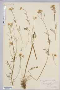 Cardamine pratensis herbarium specimen from Graffham, VC13 West Sussex in 1901 by Rev. Edward Shearburn Marshall.