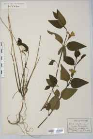 Vinca major herbarium specimen from Eastwick, VC20 Hertfordshire in 1926 by Rev Douglas Montague Heath.