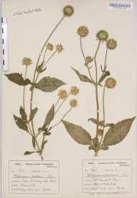 Dipsacus pilosus herbarium specimen from Mercote Hall, VC38 Warwickshire in 1893 by Mr Harold Stuart Thompson.