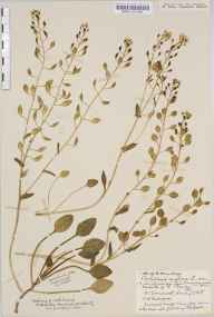 Cochlearia anglica herbarium specimen from Bristol, VC34 West Gloucestershire in 1932 by Mr Harold Stuart Thompson.