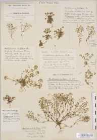 Hornungia petraea herbarium specimen from Clifton Down, VC34 West Gloucestershire in 1934 by Mr Harold Stuart Thompson.
