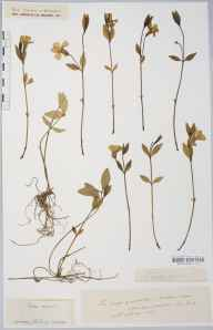 Vinca minor herbarium specimen from Much Marcle, VC36 Herefordshire in 1887 by Rev. Augustin Ley.