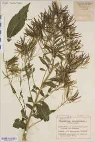 Sisymbrium strictissimum herbarium specimen from Cleeve Hill, VC33 East Gloucestershire in 1911 by Mr Charles Bailey.