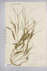 Sisymbrium orientale herbarium specimen from Barnetby, VC54 North Lincolnshire in 1907.