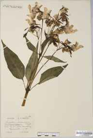 Impatiens glandulifera herbarium specimen from Maentwrog, VC48 Merionethshire in 1922 by Mr William Charles Barton.