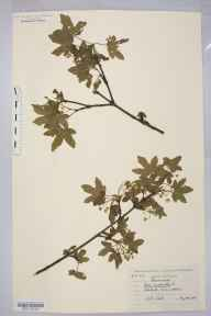 Acer campestre herbarium specimen from Solihull, VC38 Warwickshire in 1907.