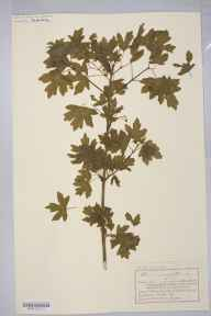 Acer campestre herbarium specimen from Much Marcle, VC36 Herefordshire in 1894 by Mr Charles Bailey.