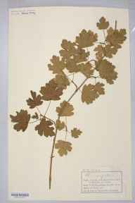 Acer campestre herbarium specimen from VC34 West Gloucestershire in 1887 by Mr Charles Bailey.