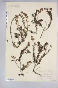 Daboecia cantabrica herbarium specimen from Recess, VCH16 West Galway in 1900.