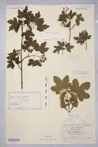 Acer campestre herbarium specimen from Teignmouth, VC3 South Devon in 1849 by Dr Robert Coane Roberts Jordan.