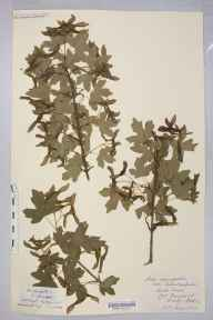 Acer campestre herbarium specimen from Lord's Wood, VC36 Herefordshire in 1896.