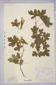 Acer campestre herbarium specimen from Purley, VC17 Surrey in 1881 by Mr Arthur Bennett.