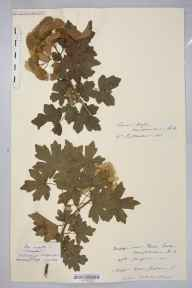 Acer campestre herbarium specimen from Stoke Prior, VC36 Herefordshire in 1900 by Rev. Augustin Ley.