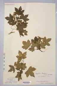Acer campestre var. hebecarpum herbarium specimen from English Bicknor, VC34 West Gloucestershire in 1900 by Rev. Augustin Ley.