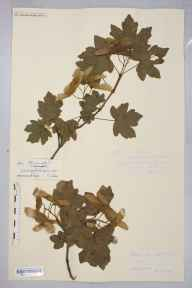 Acer campestre herbarium specimen from Warham, VC36 Herefordshire in 1899 by Rev. Augustin Ley.