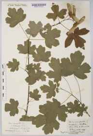 Acer campestre herbarium specimen from Westbury on Trym, VC34 West Gloucestershire in 1916 by Mr Harold Stuart Thompson.